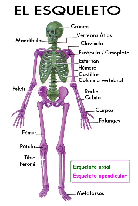 Desde las gavetas de mi escritorio: Clasificación de los huesos del ...