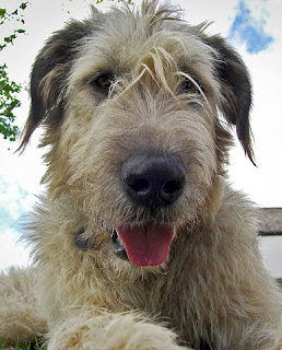 Irish Wolfhound by Mark Robinson