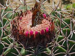 Borboleta na flor da coroa-de-frade