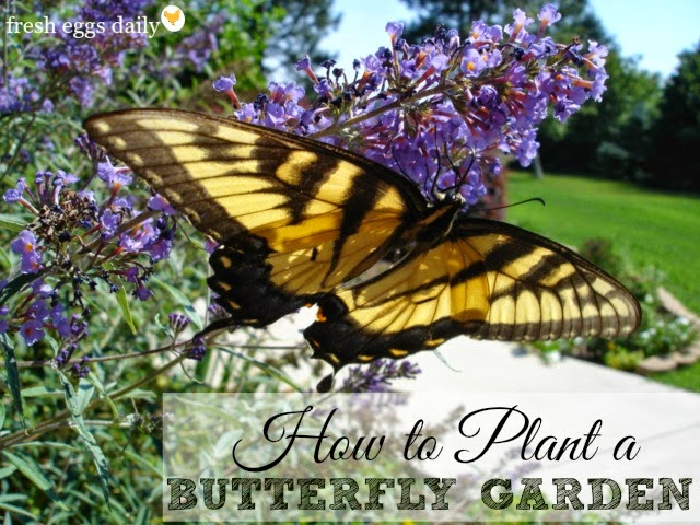 Butterflies Are Beautiful Additions To Any Backyard And Are Also Wonderful  Pollinators. I Make Sure To Plant Things In My Garden To Attract Lots Of ...