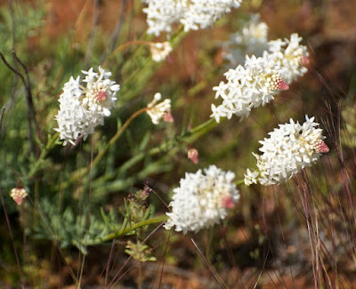Creamy Candles (Stackhousia monogyna)