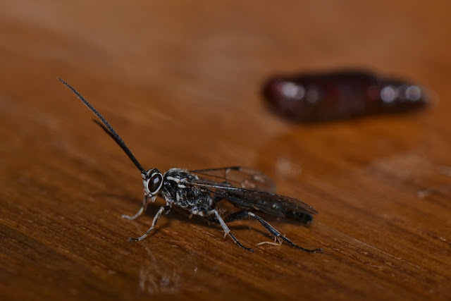 parasitic wasp emerged from moth pupa