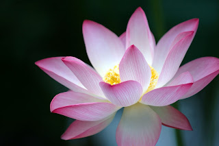 Lotus in dream