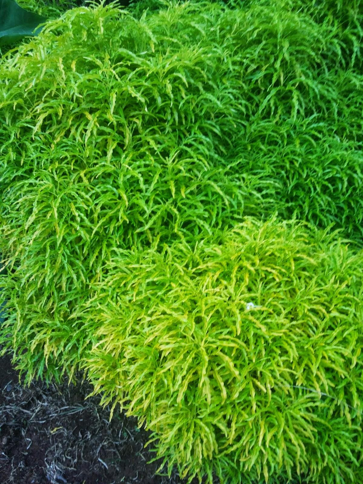 Jual brokoli daun hijau | suplier tanaman | aneka rumput | jasa tukang taman