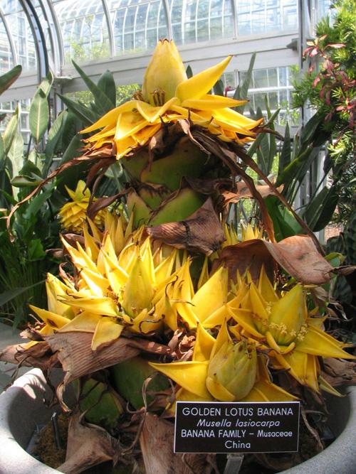 plantwerkz golden lotus banana musella lasiocarpa