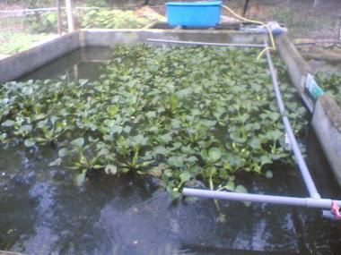tumbuhan air didalam kolam