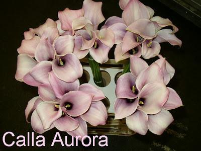 Calla Aurora images