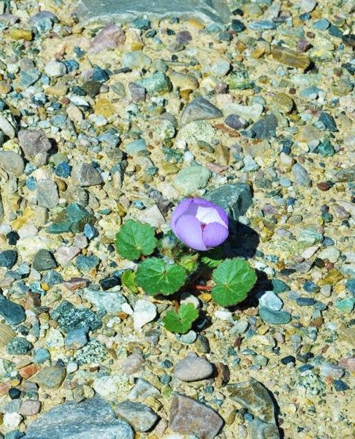 Desert Five-Spot, Eremalche rotundifolia_1453
