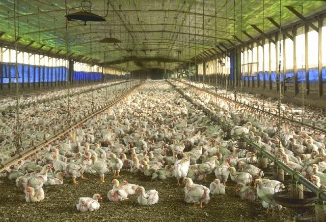 ayam broiler, anak yam, ternak unggas