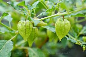 tanaman obat untuk penyakit hipertiroid