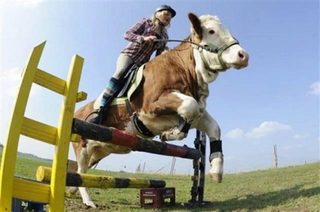 Cow jump like a Horse