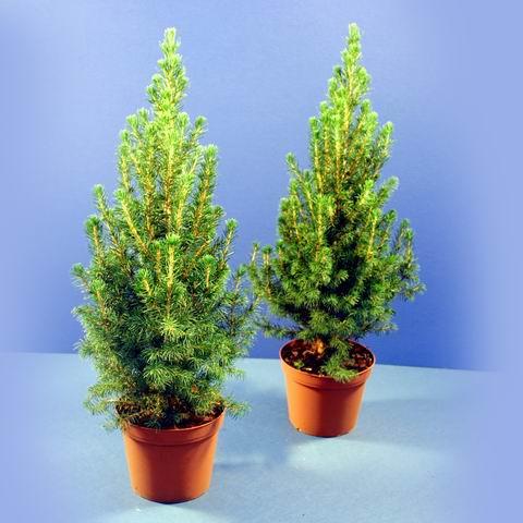 Feng shui total junio 2012 for Tipos de pinos para jardin