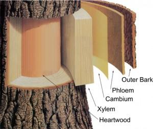 The Pipelines of The Tree Xylem And Phloem Tree