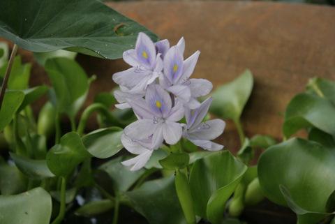 Waterhyacint bloeitijd