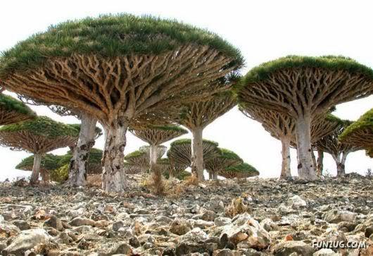 socotra+island+pulau+dajjal billyinfo3 Keanehan Pulau Socotra di Yemen, pulau Dimana DAJJAL Dirantai?