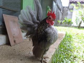 Foto Ayam Serama Gagah