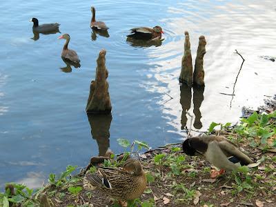 preening mallards:  Audubon Park, NOLA