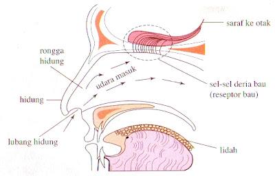 Struktur hidung untuk deria bau