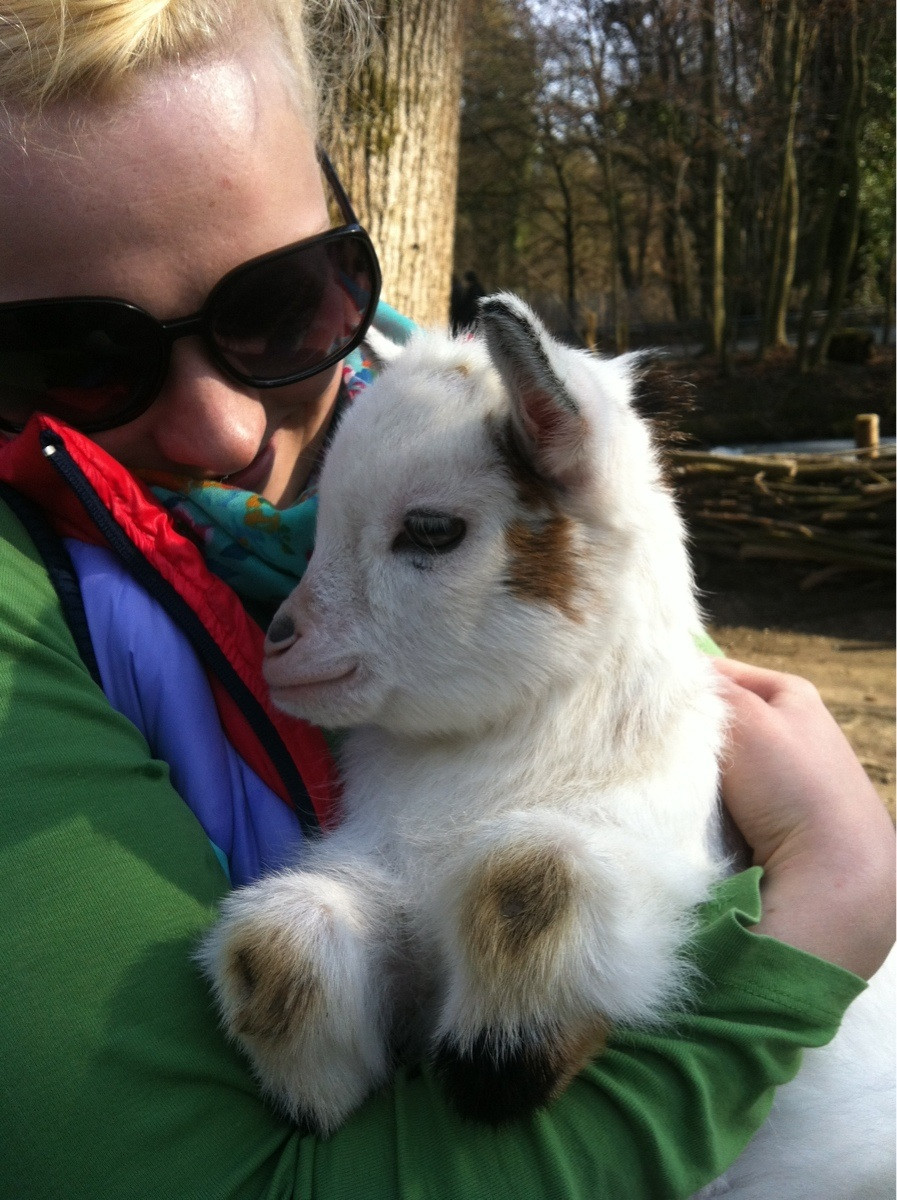funny animal pictures, baby goat