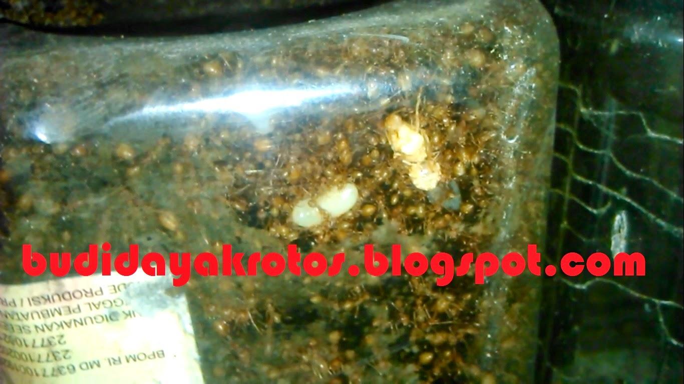 Tahukan Kita Ratu Semut Rangrang Bisa Lahir dari Telur Semut Pekerja