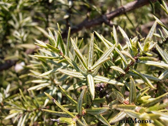 Hjas de ENEBRO: Juniperus oxycedrus