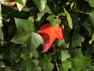 Ivy and Maple Leaf