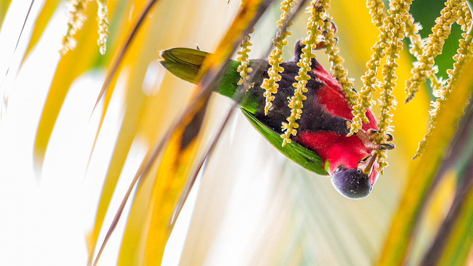 A young Kula hangs from the inflorescence of a golden cane palm.