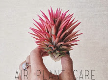 Air Plant Care: How to Keep Your Tillandia(s) Happy