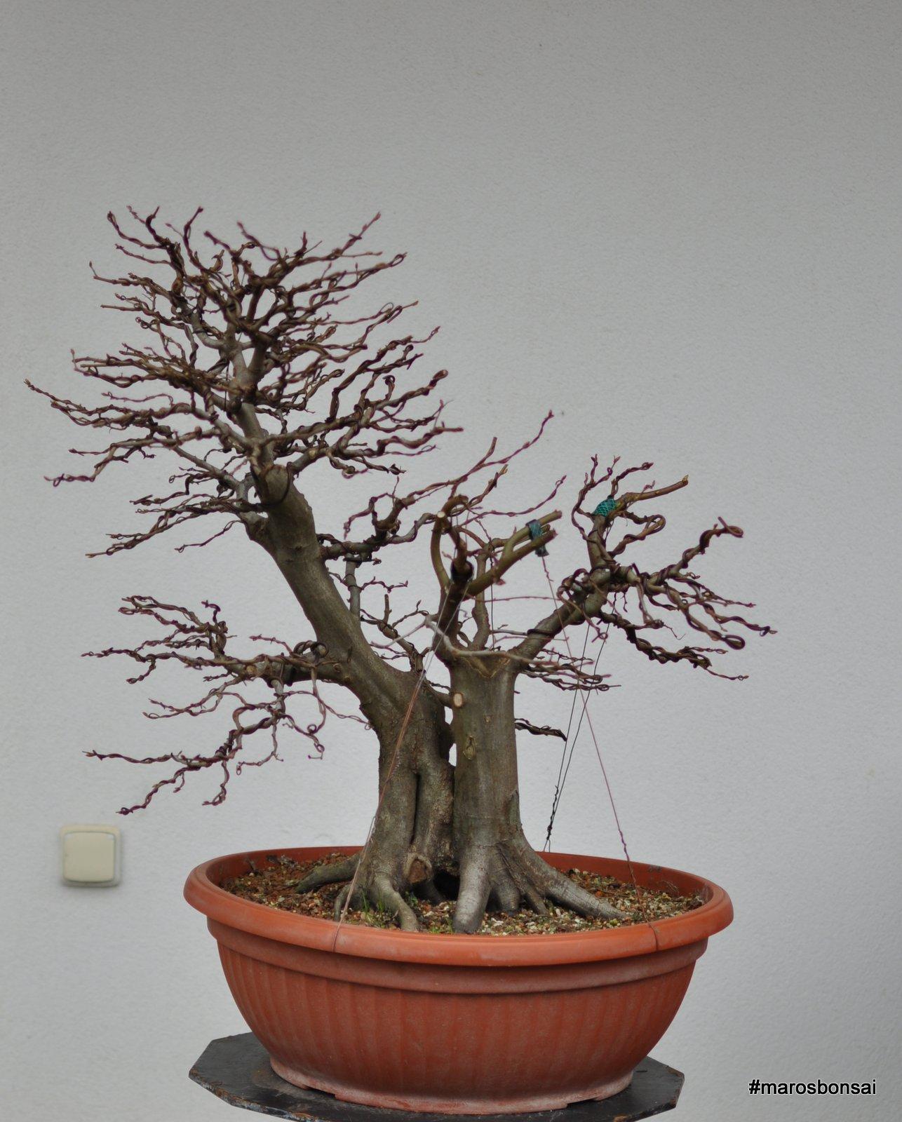 Story of my bonsai tree: Hornbeam No.3 - Gemini