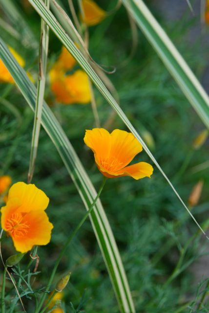 Orange California poppies, Eschscholzia californica, are an easy annual to grow from seed. Once you plant them, you may see a few that re-seed from past years too. Miscanthus sinensis 'Dixieland' is so valuable for its white variegated leaves. Its smaller size, 3 feet tall by 3 feet wide, makes it easy to fit into my smaller garden.