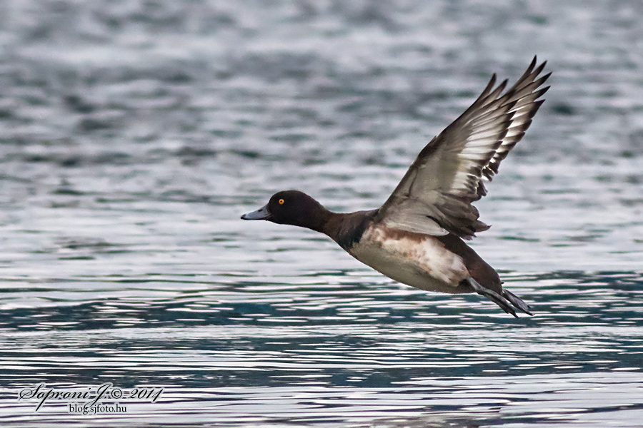 Kontyos réce - Tufted Duck - Reiherente - Aythya fuligula