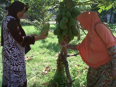 Panen Pepaya California di Kebun PKK RW 03