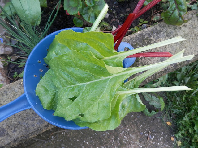 Spinach beet. Home grown garden harvest. UK garden blogger secondhandsusie.blogspot.co.uk
