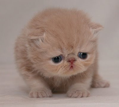 A photograph of a scared-looking Persian Cat kitten.