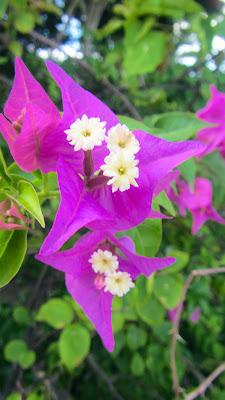 Lila Blüten auf den Seychellen