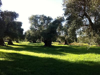 Olive Grove - Torre Guaceto