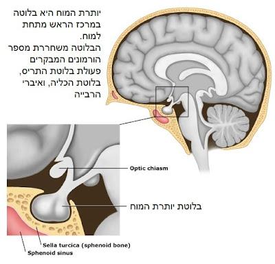 בלוטת יותרת המוח