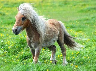 Menurunnya Populasi Kuda Poni di Indonesia