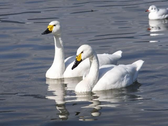 白鳥の湖が流れる中、ランデブー・・・。