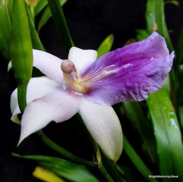 Oncidium regnellii