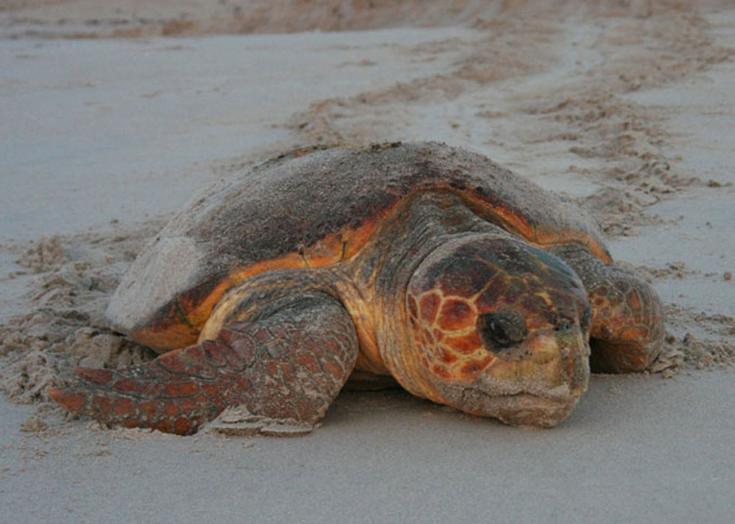The Loggerhead's Ecosystem Benefits