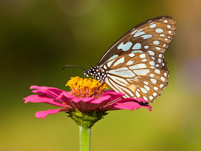 Butterfly Feeding on Nectar