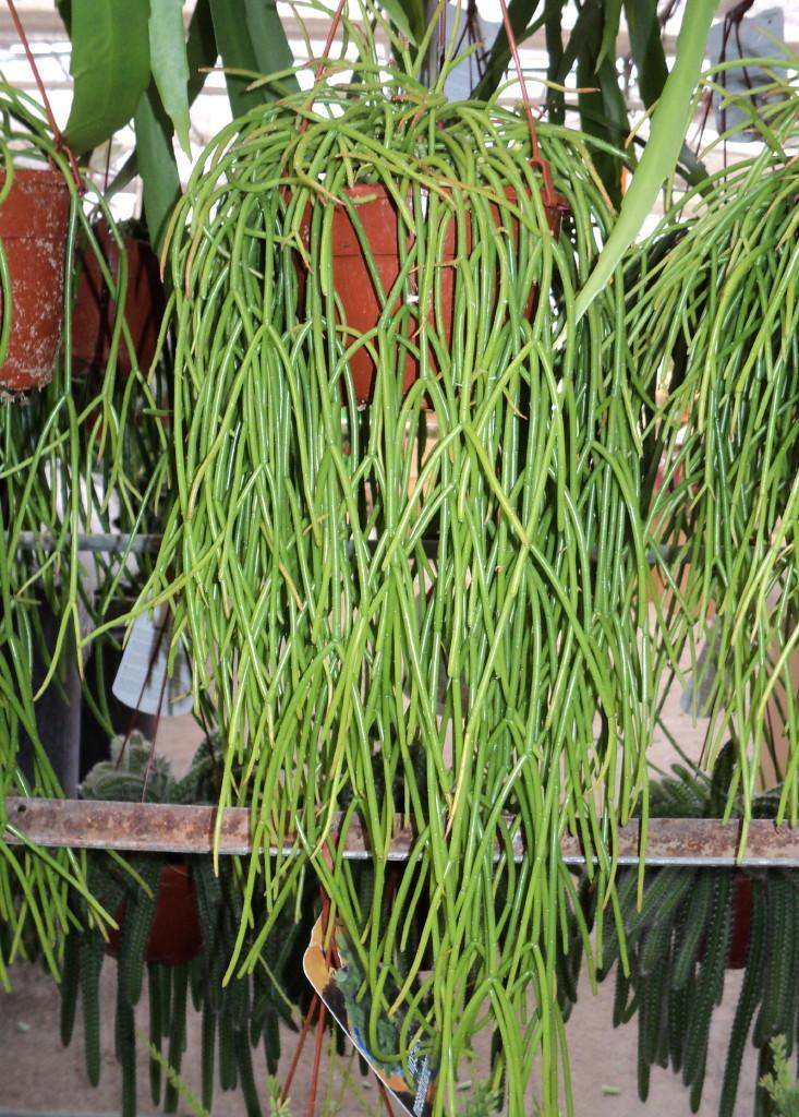 Image gallery suculentas colgantes - Plantas crasas colgantes ...
