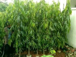 tanaman glodogan tiang