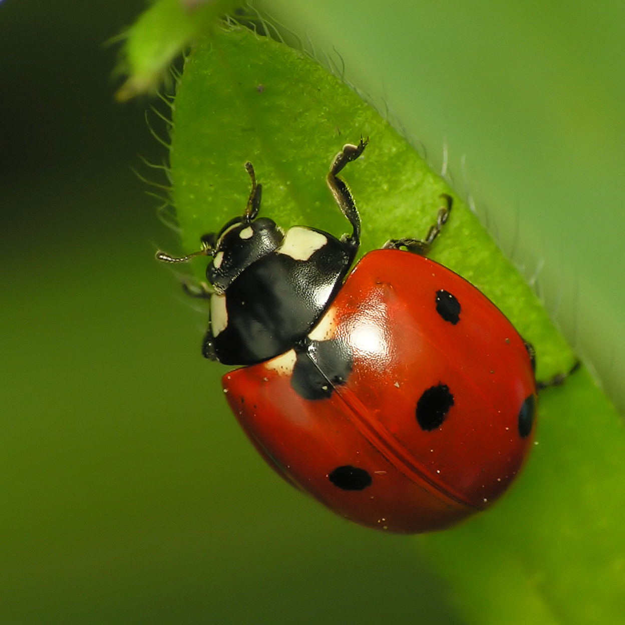 Http 13 Fun Facts Blogspot Com 2011 05 13 Lowdowns On Ladybugs Html