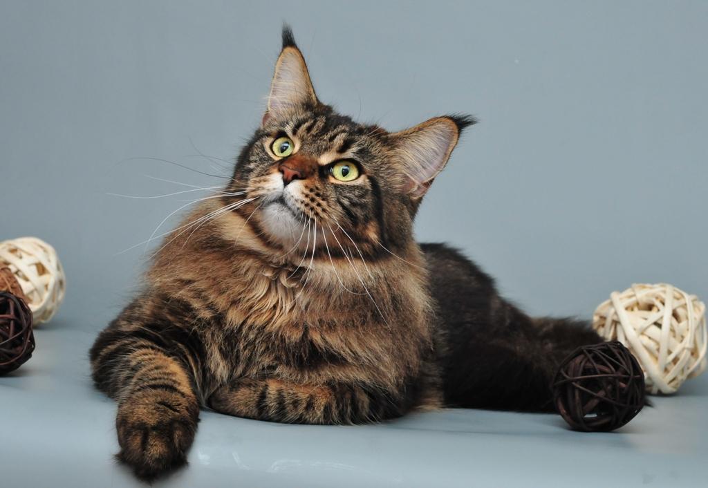 Мейн кун кошки в питомнике lynx place