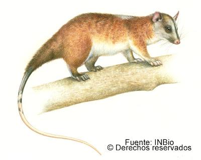 zorro de balsa Caluromys derbianus