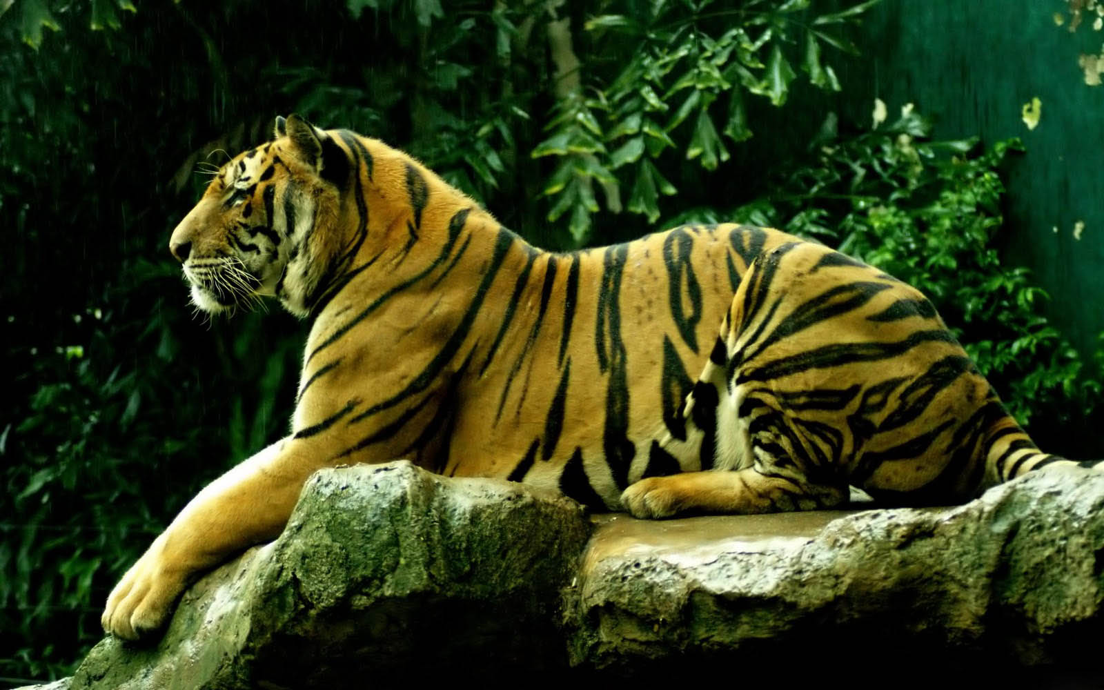 wallpapers: tiger desktop wallpapers and backgrounds