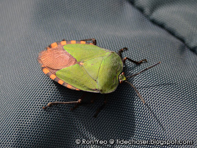Stink Bug (Pycanum sp.)