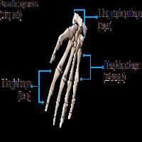 tulang telapak tangan